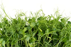Fresh pea microgreen sprouts isolated on white. Healthy food.