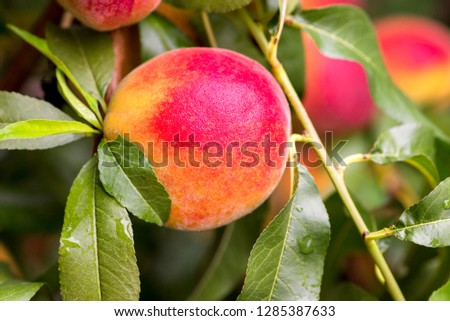 Fresh peach tree. Peaches ripe for picking in a peach orchard. Ripe sweet peach fruits growing on a peach tree branch