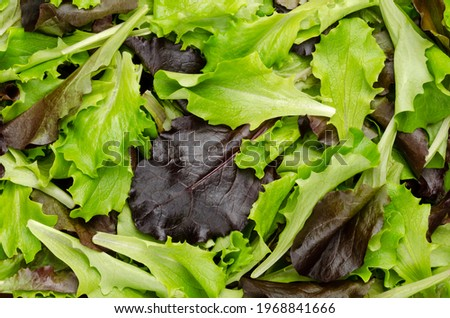 Fresh picked loose leaf lettuce, red and green leaved pluck lettuce, close-up from above. Also known as pick or looseleaf lettuce, used for salads and as a garnish. Top view, macro food photo.