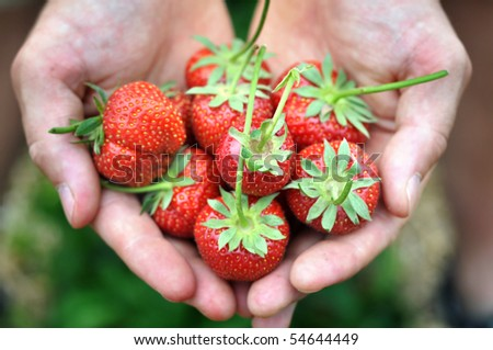 Fresh picked strawberries held over strawberry plants #54644449