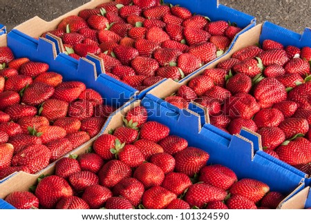 fresh picked Strawberries in boxes ready to be delivered to the market