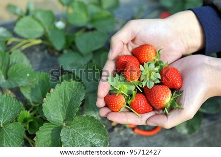 fresh picked strawberries in hand.