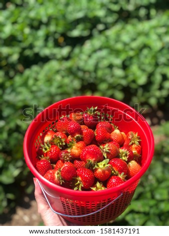 Fresh Picked Strawberries in Red Basket in Farm Field during Summer Harvest