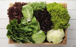 fresh picked whole lettuce varieties