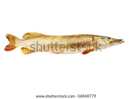 Fresh pike fish isolated on white - stock photo