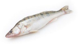 Fresh pike perch isolated on white background