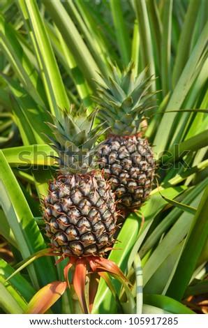 Fresh Pineapple in farm , Tropical fruits