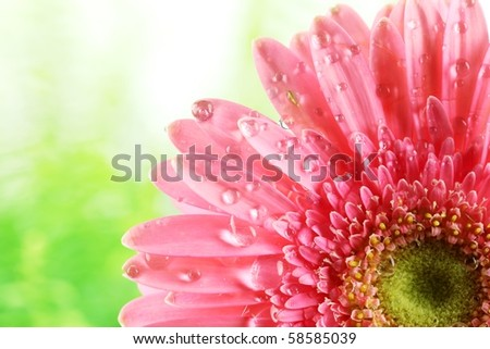 Fresh pink daisy  with water drops,Closeup.