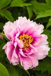 Fresh pink peony flower closeup on the bush
