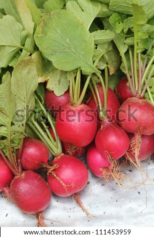 Fresh pink-red colored round radish heap collected from a organic garden. Its scientifically known as  Raphanus sativus. This pungent tasting vegetable is used in vegetable salads & is nutrition rich
