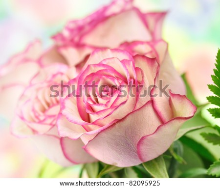 fresh pink roses , close up shot for background