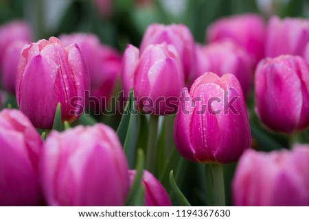 Stock Photo Fresh pinkTulip flowers background with raindrops in the garden.