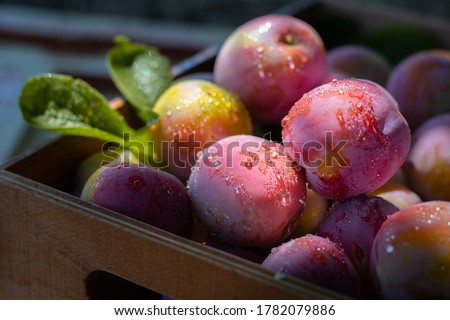 Fresh plums in wooden box, drops on fruit. Pink plum with leaves, close shot. Food fruit Background. Summer postcard. Harvesting in the garden. Harvest of plum