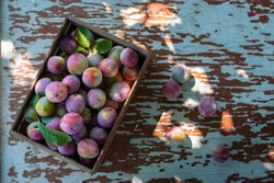 Fresh plums in wooden box on wood table top view. Pink plum with leaves. Food fruit Background. Summer postcard. Harvesting in the garden. Harvest of plum