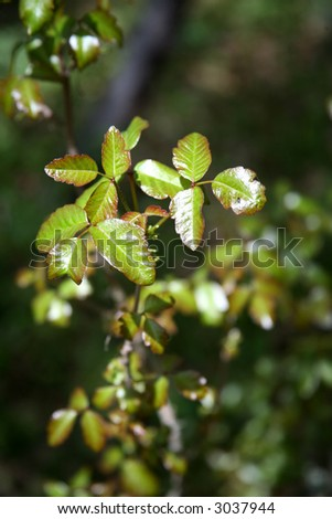 Fresh Poison Oak Growing in Springtime with Red and Green Leaves