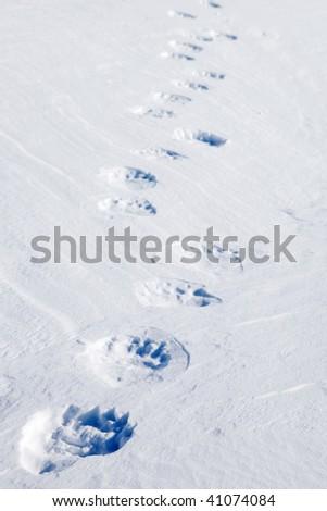 Fresh polar bear tracks - Spitsbergen, Svalbard, Norway