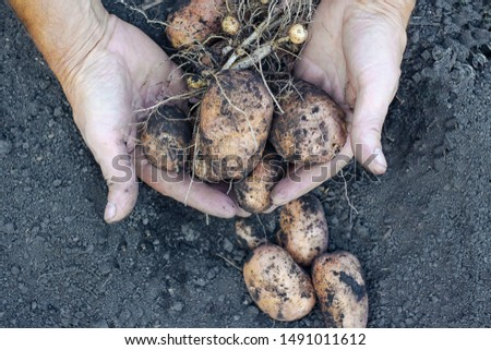 Fresh potatoes in the hands of a farmer on the background of the ground. New crop #1491011612