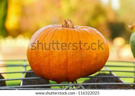 Fresh pumpkin in autumnal garden. For Halloween, thanksgiving holiday, autumn theme
