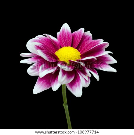 fresh purple dahlia flower with yellow center isolated on black, Beautiful flower