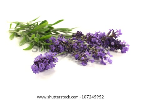 fresh purple lavender flowers and leaves on a bright background