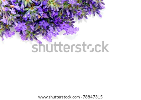 Fresh purple lavender flowers border over pure white background with blank copy space for inserting text