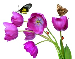 fresh purple tulips with butterflies and ladybugs isolated on white