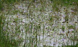 Fresh purple waterlily flowers are all over water surface