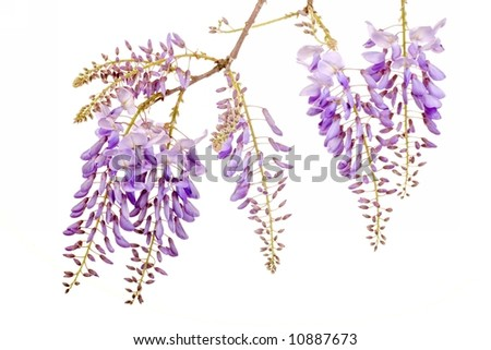 fresh purple wisteria flowers isolated on white background