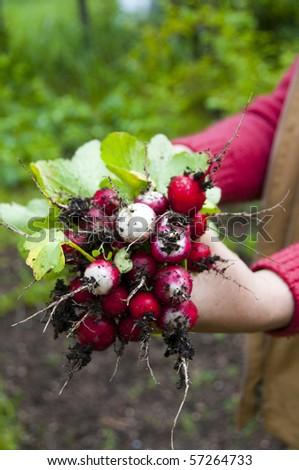 Fresh radish in the woman's hands - stock photo