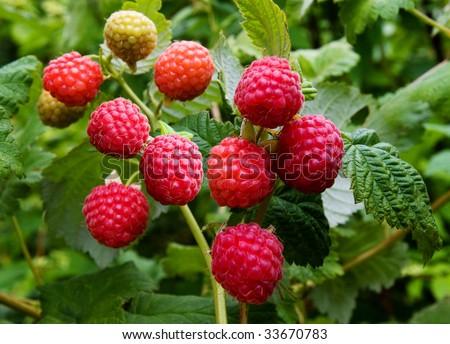 fresh raspberries on the branch