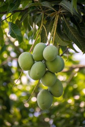 Fresh Raw mangoes on tree. Mango farming and cultivation background.