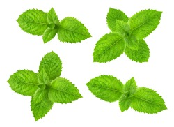 Fresh raw mint leaves isolated