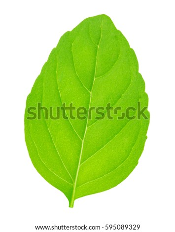 Fresh raw mint leaves isolated #595089329