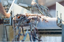 Fresh, raw squid or cuttlefish coming off a stainless steel fish plant conveyor belt on a wharf. The catch is used for calamari and fish bait. The animal has long tentacles in its invertebrate cavity