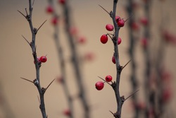 Fresh red berries on brown twig with big sharp thorns. Curved branch of barberry closeup on blurry green background. Autumn backdrop