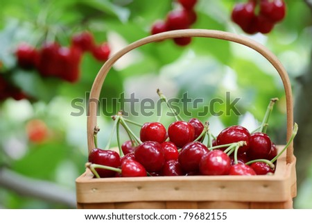 Fresh red cherries on a orchard scene ,Shallow Dof.