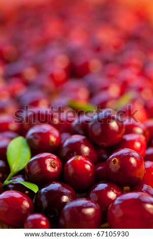 Fresh red cranberries with leaves