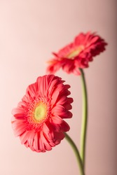 Fresh red gerbera flowers. Pastel soft colors. Floral background.