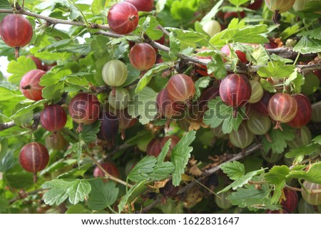 Fresh red gooseberries on branch of gooseberry bush in the fruit garden. Close-up view of organic gooseberry berries hanging under the leaves. Stock photo ©