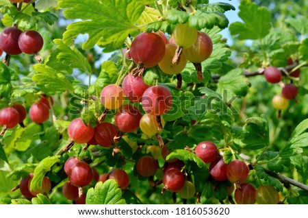 Fresh red gooseberry on a branch of a gooseberry bush in the garden. A red berry bush grows in the garden  Stock photo ©