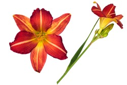 fresh red hermerocallis day lily blooming flowers in isolated white background with clipping path