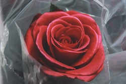 Fresh Red Rose in a Bundle