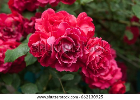 Fresh red roses in nature. Landscape. Spring flower. #662130925