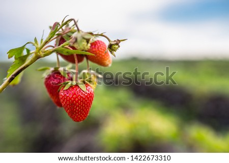 fresh red strawberries from farm, edit space #1422673310