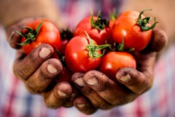 Fresh red tomatoes and farmer hands.