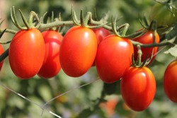 Fresh red tomatoes growing on a branch in the Vegetable garden.