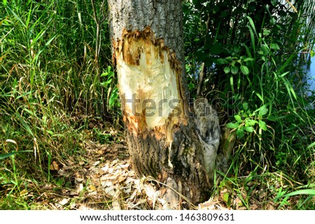 Fresh removed bark and teeth marks left by beavers and a stump where they removed a smaller tree in a previous year. #1463809631
