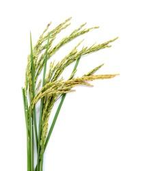 Fresh rice plant isolated on white background.