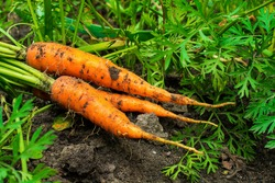 fresh ripe harvested carrots on the ground in the garden on the planting bed