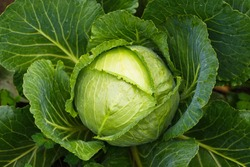 Fresh ripe head of green cabbage (Brassica oleracea) with lots of leaves growing in homemade garden, short before the harvest. Organic farming, healthy food, BIO viands, back to nature concept.